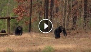 chimpances-jubilados