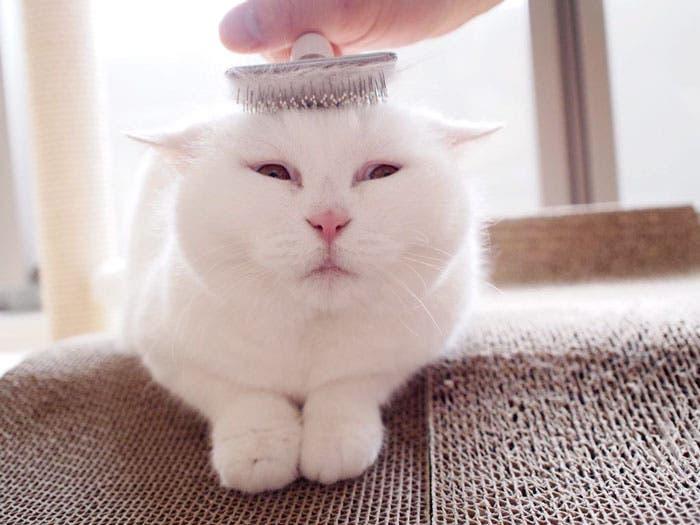 gato flojo 6