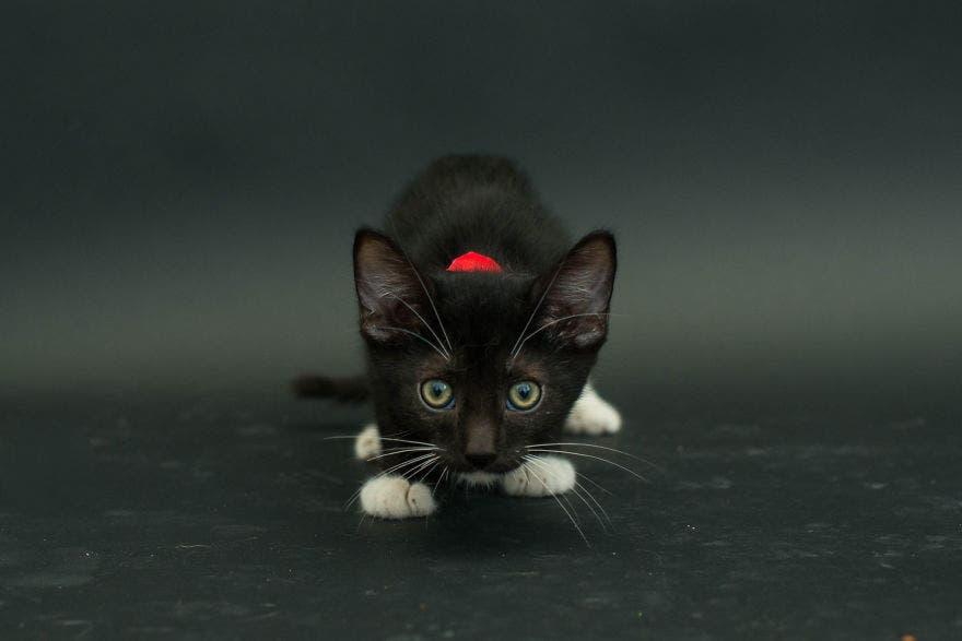 gatos negros adopcion 1