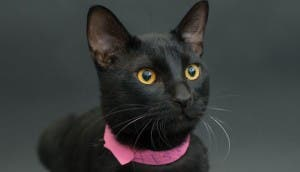 gatos negros adopcion 13