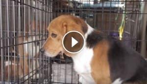 rescatan-beagles-de-laboratorio