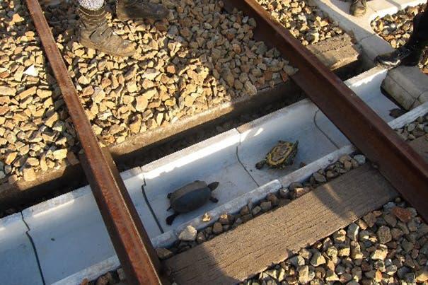 ferrocarril de tortugas 1