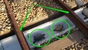 ferrocarril de tortugas 3