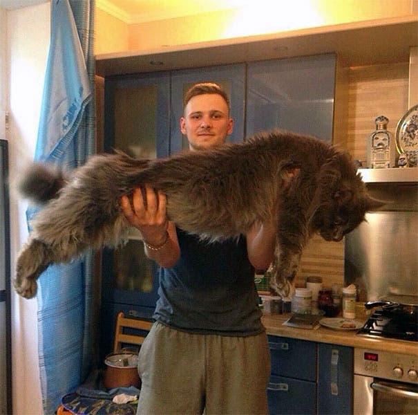 16 gatos de la raza Maine Coon harán que el tuyo se vea diminuto ¡Son enormes!