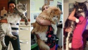 gatos-enormes