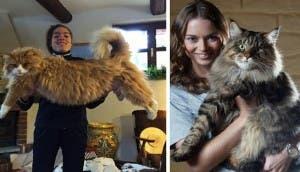 gatos-gigantescos-1-1