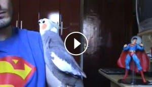 loro-superman-cantando-