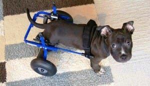 perro-con-paralisis4 - copia