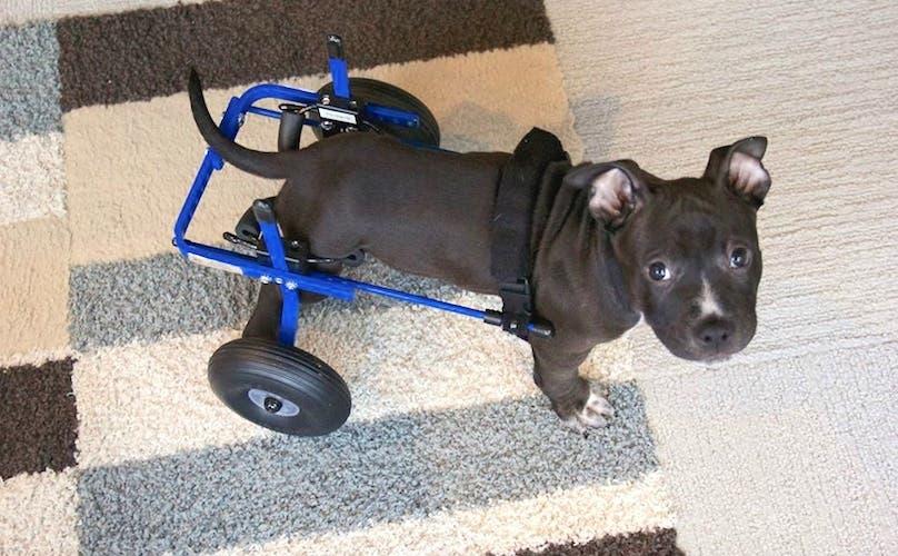 Conoce al Teniente Dan, un cachorro con parálisis ¡Cuando sepas su historia te robará el corazón!
