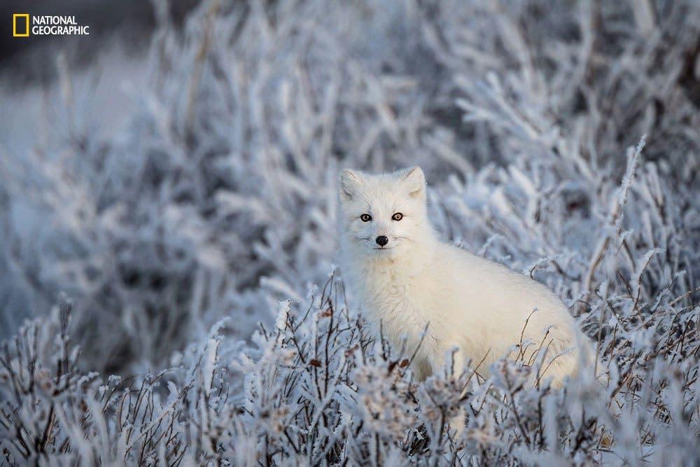An arctic fox in frozen willows.