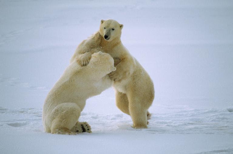 animales jugando en nieve 4