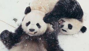 animales jugando en nieve id