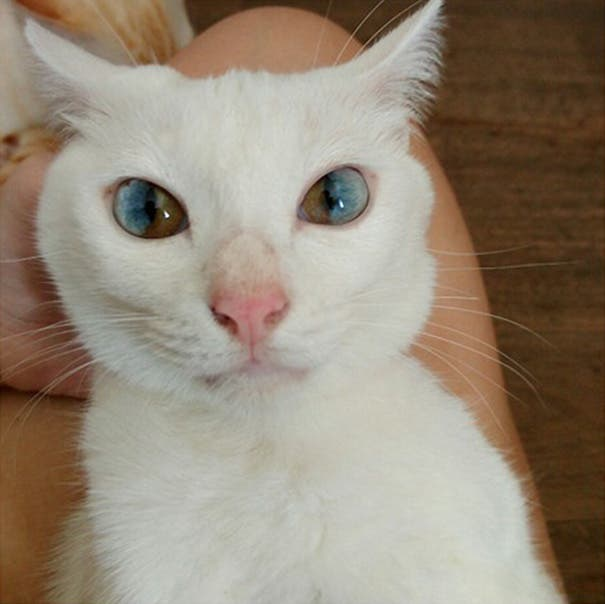gatos heterocromia 1
