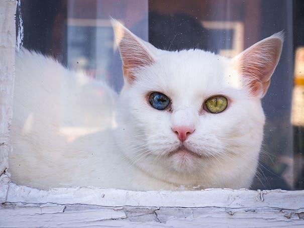 gatos heterocromia 11