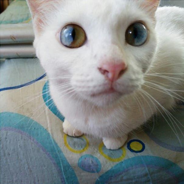 gatos heterocromia 2