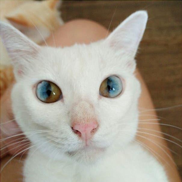 gatos heterocromia 4