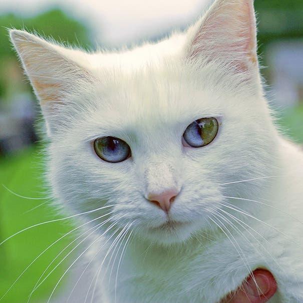 gatos heterocromia 8