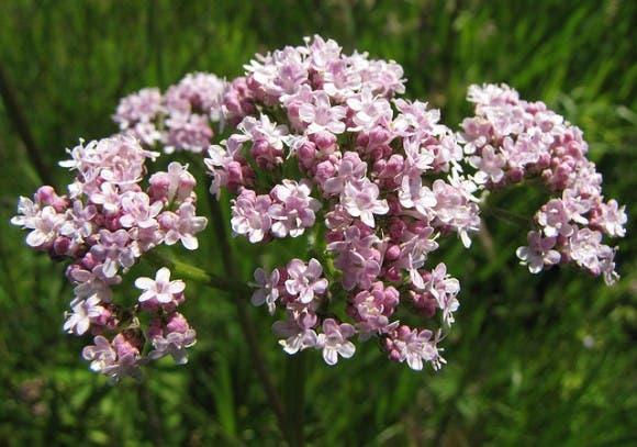 plantas-medicinales-propiedades10