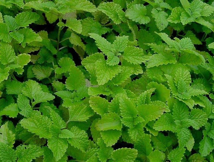 plantas-medicinales-propiedades4