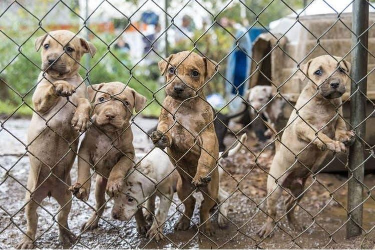 23 perros peleas rescatados 1