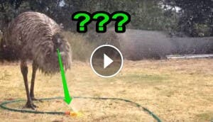 blacky emu id