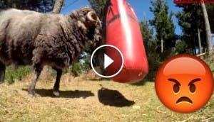 carnero-furioso-vs-saco-de-box