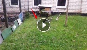 gatito-persigue-a-patos