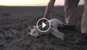 inusual-rescate-pastor-blanco-abandonado-desierto