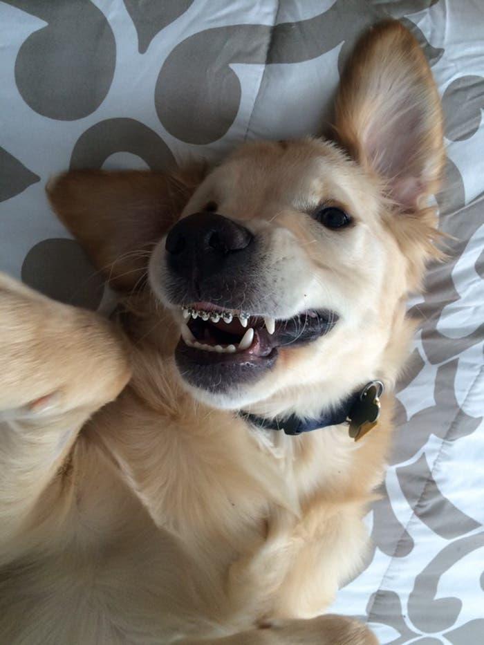 perro con braquets 7