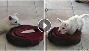 perro-pasea-sobre-aspiradora-robot2