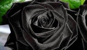 rosas-negras1 - copia