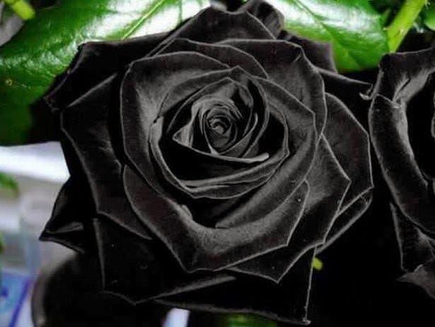 rosas-negras1
