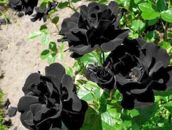 rosas-negras2