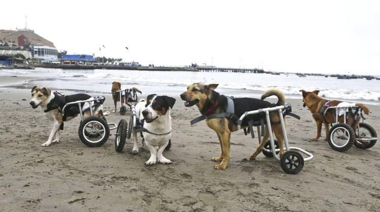 Perros paraplégicos en la playa de Pescadores, Perú