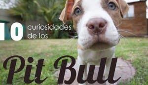 datos-curiosos-sobre-los-pit-bull-portada