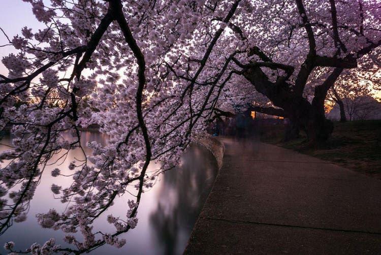 flor de cerezo 13