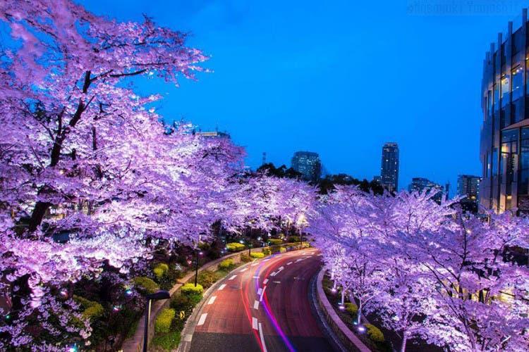 flor de cerezo 6