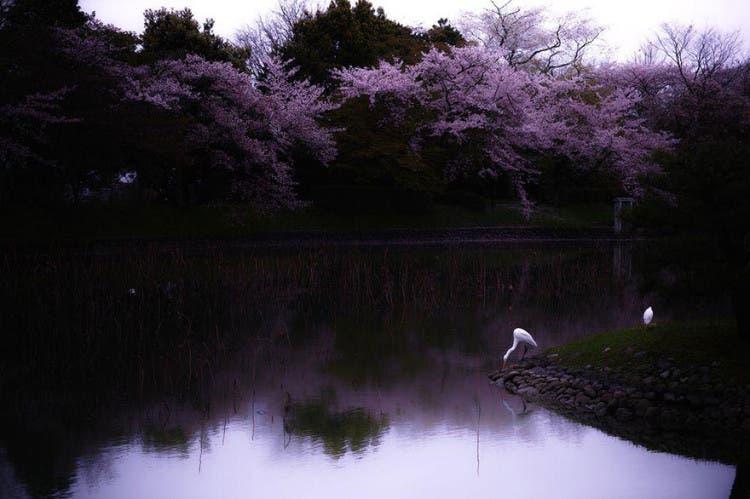 flor de cerezo 7