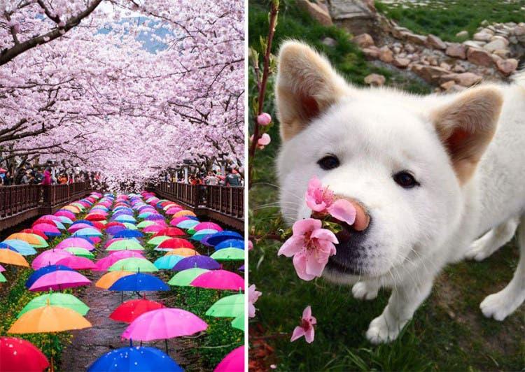 flor de cerezo 9