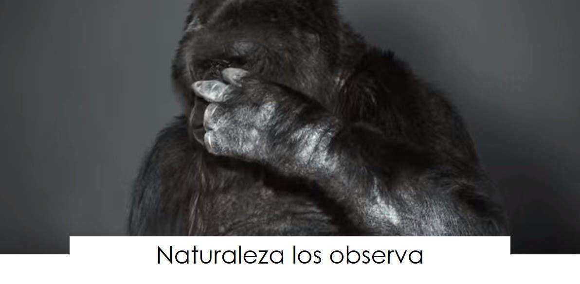 koko-la-gorila-tiene-un-mensaje-12