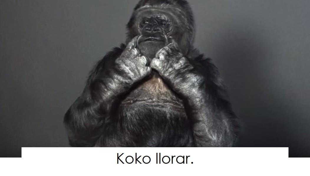 koko-la-gorila-tiene-un-mensaje-8