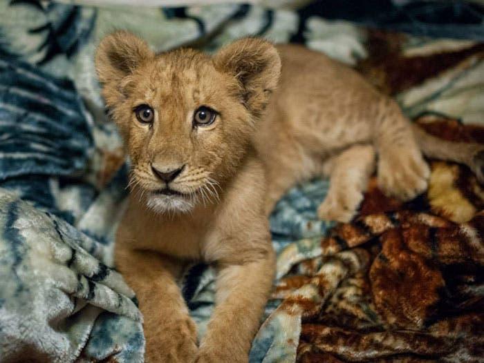 león y su mantita 2