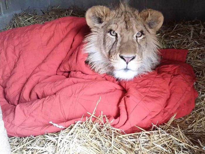 león y su mantita 3