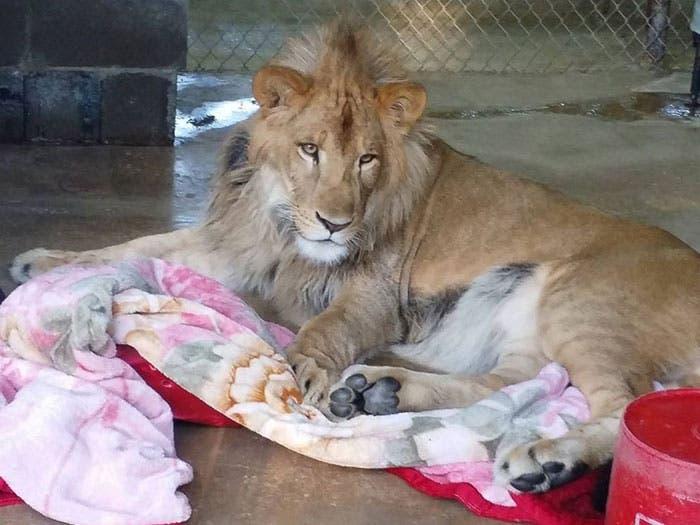 león y su mantita 5