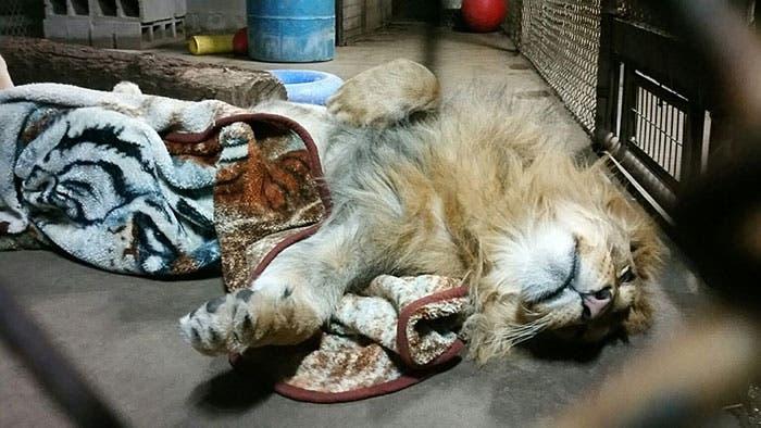 león y su mantita 6