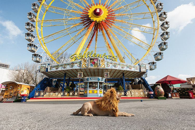 perro leon 11