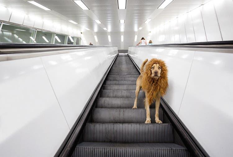 perro leon 6