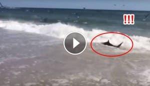 tiburones comiendo en playa id