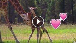 amahle-jirafa-recien-nacida