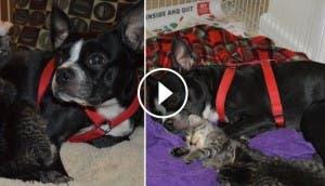 boston-terrier-rescata-gatos-huerfanos-id